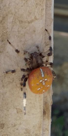 Picture of Araneus trifolium (Shamrock Orb-weaver) - Dorsal