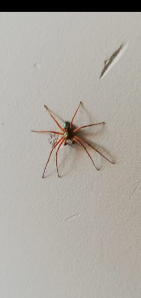 Picture of Philodromus spp. - Male - Dorsal
