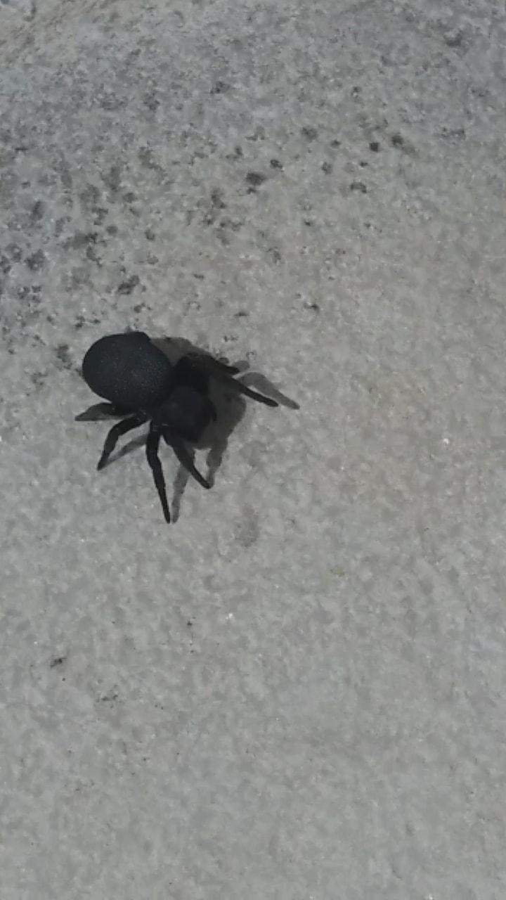 Picture of Eresus (Ladybird Spiders) - Dorsal
