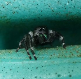 Picture of Phidippus audax (Bold Jumper) - Male - Eyes