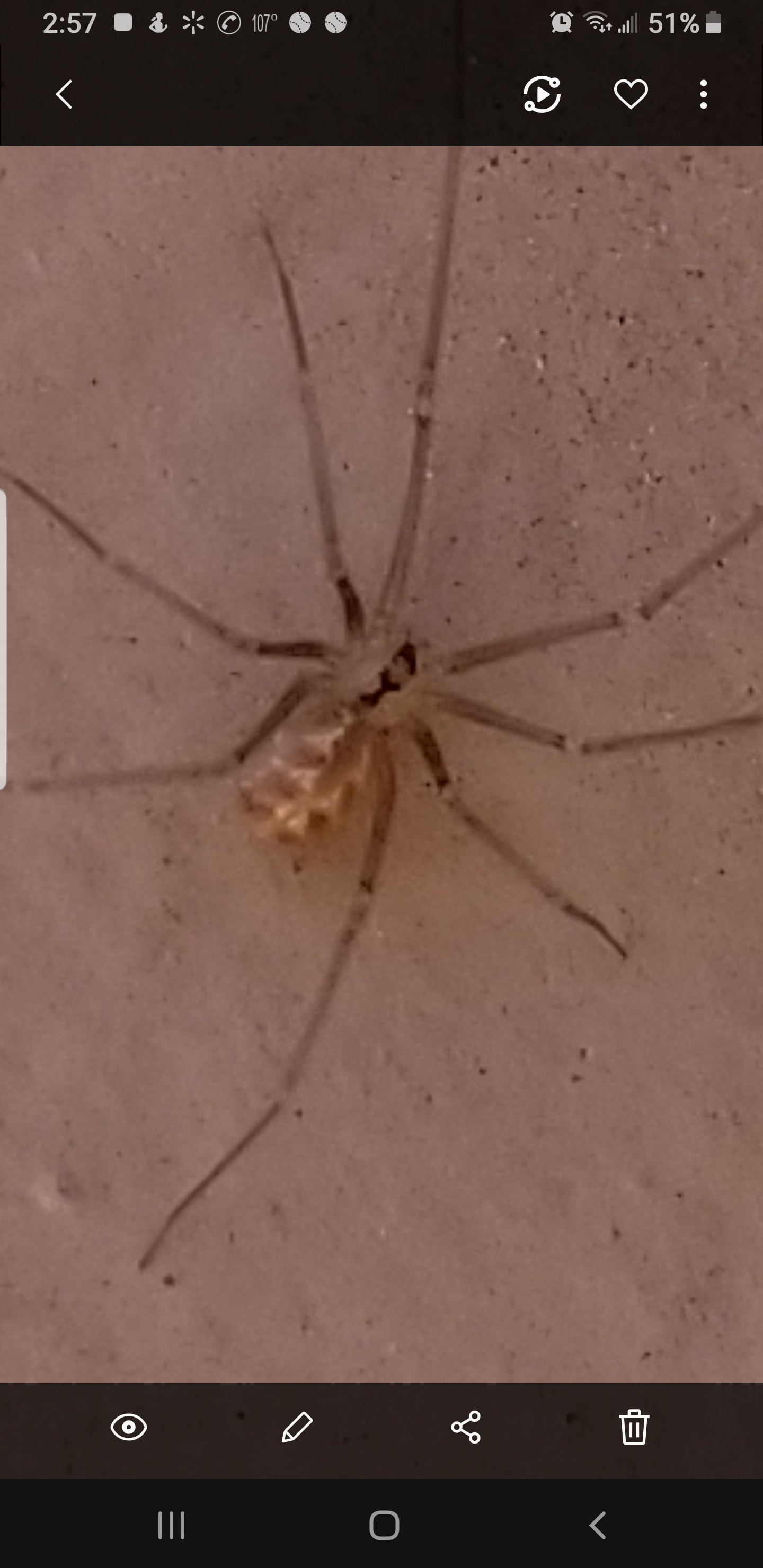 Picture of Pholcidae (Cellar Spiders) - Dorsal