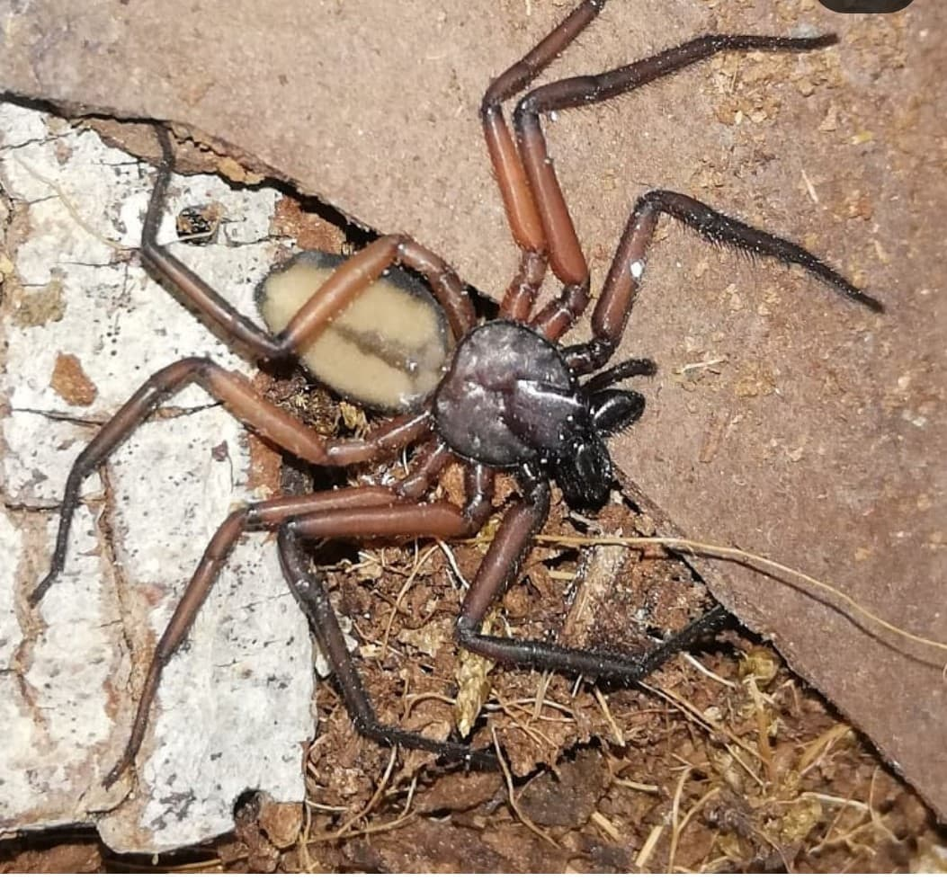 Picture of Trochanteriidae - Dorsal