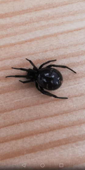 Picture of Steatoda capensis (False Katipo Spider) - Dorsal