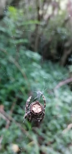 Picture of Caerostris spp. (Bark Spiders) - Dorsal,Webs