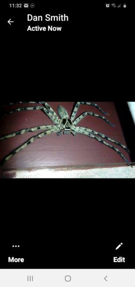 Picture of Heteropoda venatoria (Huntsman Spider) - Male - Dorsal