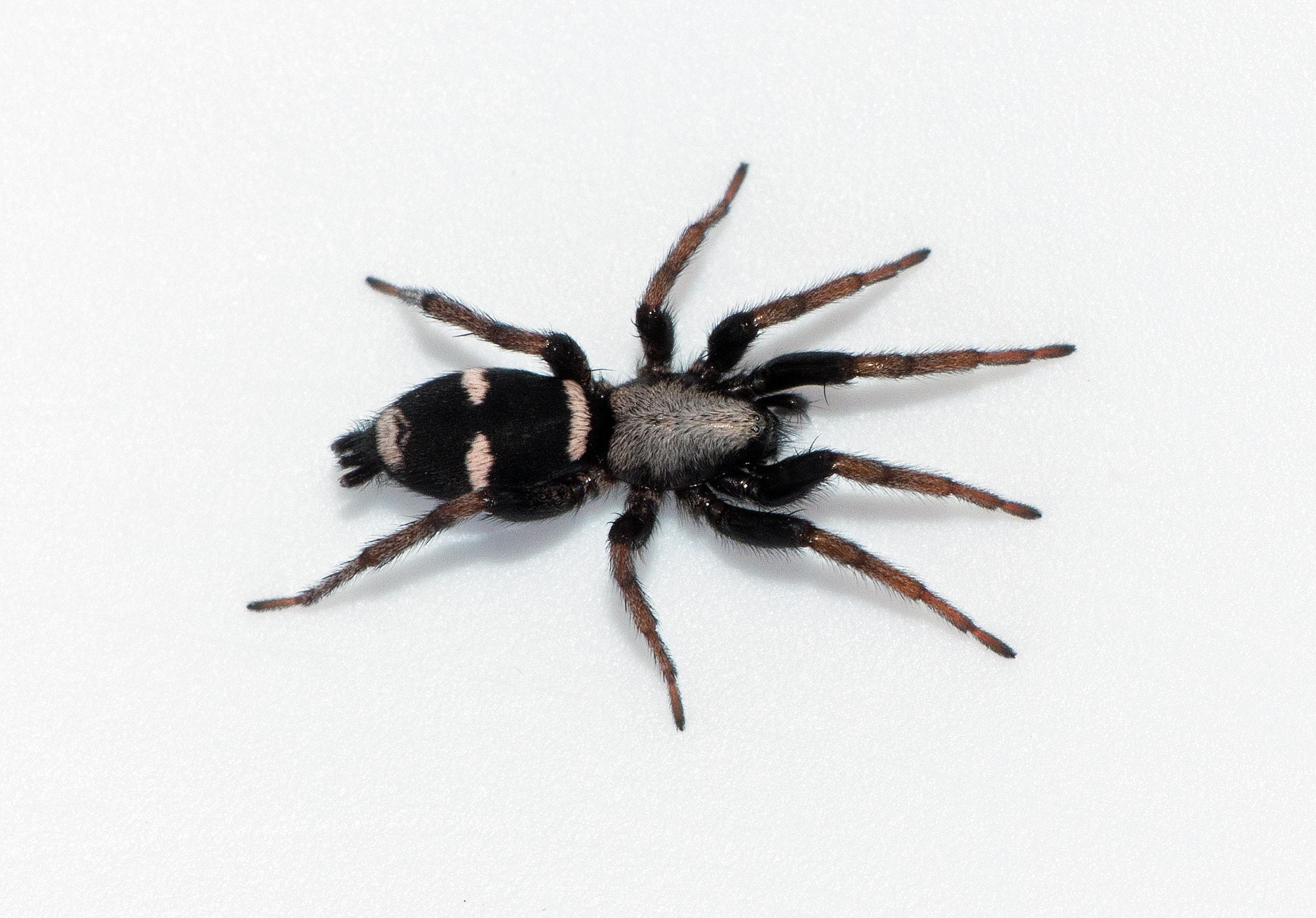 Picture of Sergiolus montanus - Female - Dorsal