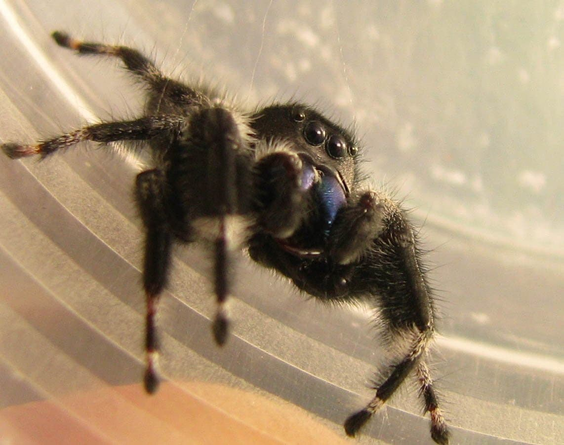 Picture of Phidippus - Eyes