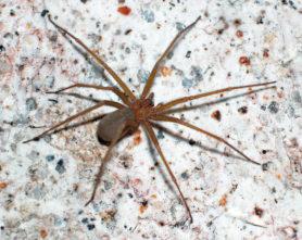 Picture of Loxosceles deserta (Desert Recluse) - Female - Dorsal