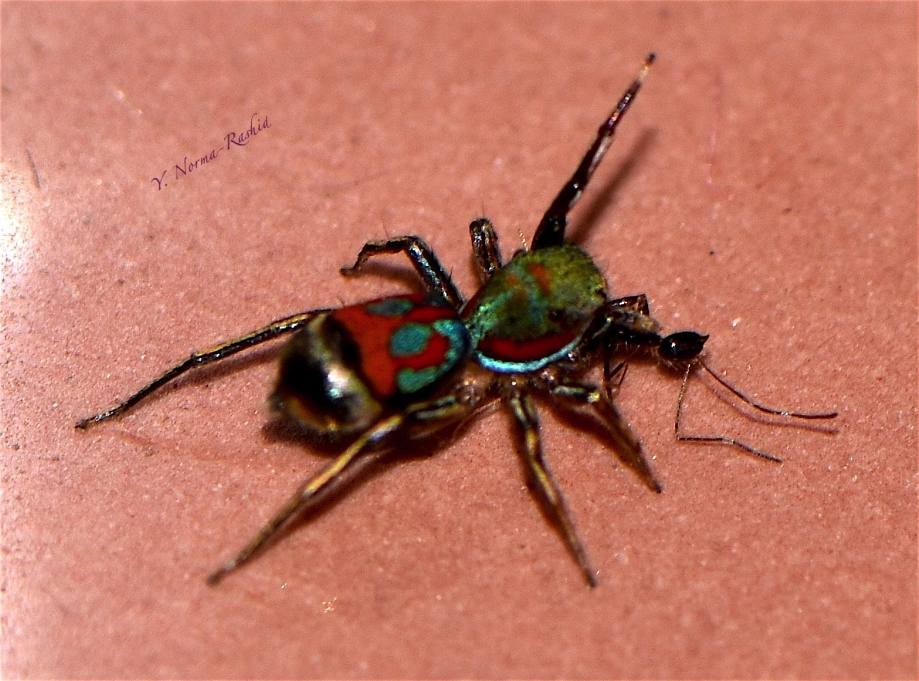 Picture of Siler - Dorsal