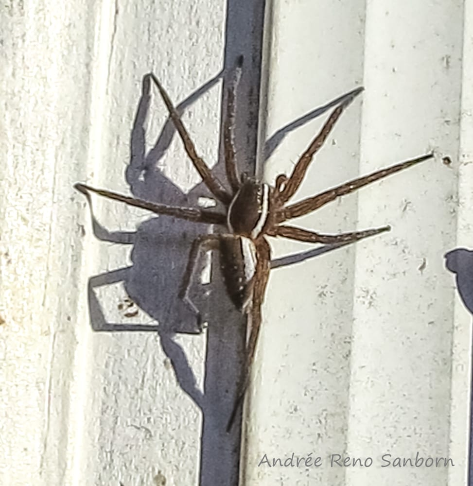 Picture of Dolomedes triton (Six-spotted Fishing Spider) - Dorsal
