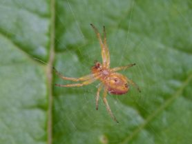 Picture of Araniella displicata (Six-spotted Orb-weaver) - Female - Ventral,Webs