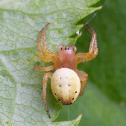 Featured spider picture of Araniella displicata (Six-spotted Orb-weaver)