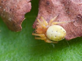 Picture of Araniella displicata (Six-spotted Orb-weaver) - Dorsal