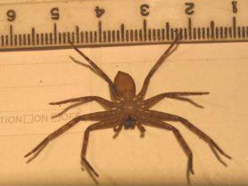 Picture of Heteropoda spp. - Ventral