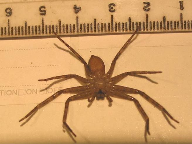 Picture of Heteropoda - Ventral