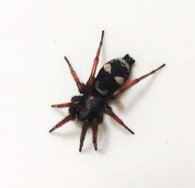 Picture of Sergiolus montanus - Dorsal