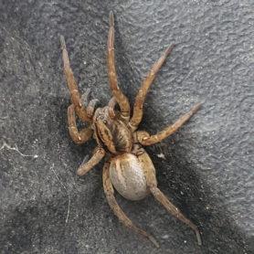 Picture of Trochosa ruricola - Dorsal