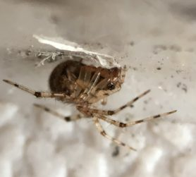 Picture of Theridiidae (Cobweb Weavers) - Lateral,Webs