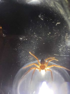 Picture of Philodromus spp. - Dorsal