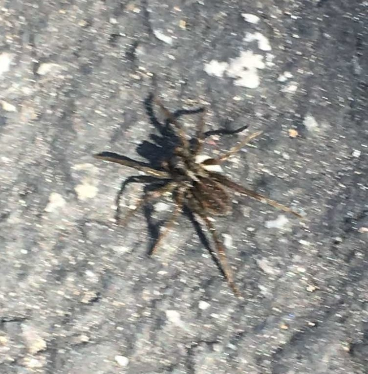 Picture of Pardosa (Thin-legged Wolf Spiders) - Dorsal