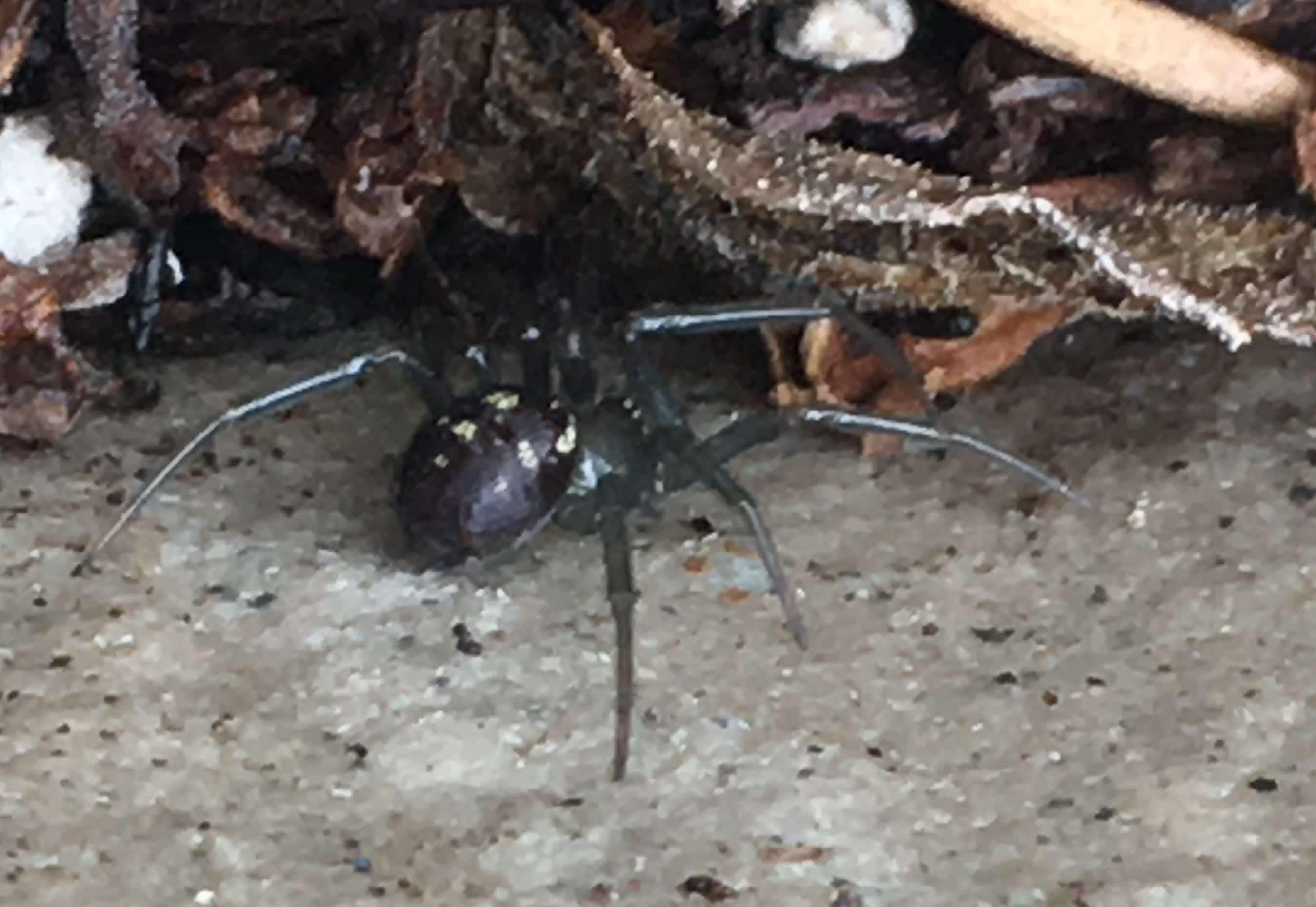 Picture of Steatoda grossa (False Black Widow) - Dorsal