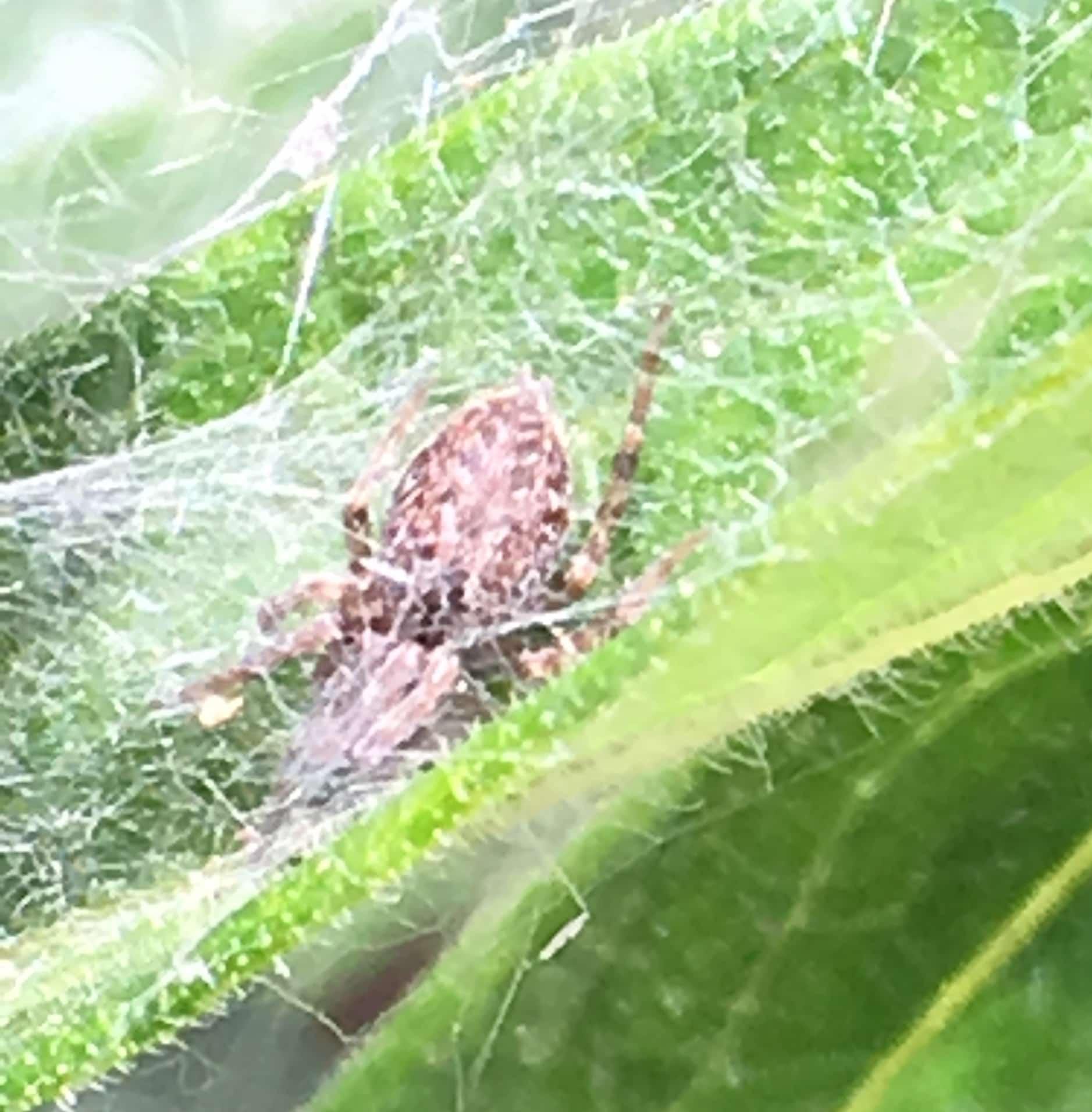 Picture of Badumna longinqua (Grey House Spider) - Dorsal,Webs