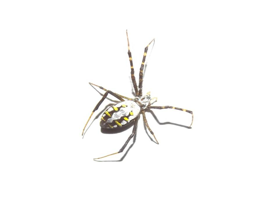 Picture of Argiope catenulata (Grass Cross Spider) - Dorsal
