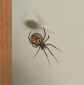 Picture of Steatoda spp. (False Widows) - Ventral