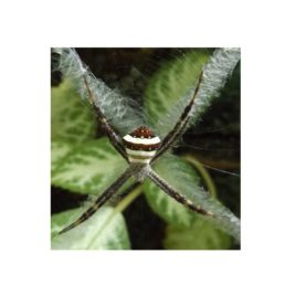 Featured spider picture of Argiope versicolor
