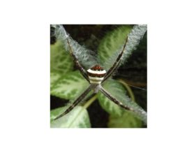 Picture of Argiope versicolor - Female - Dorsal,Webs