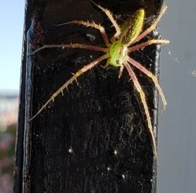 Picture of Peucetia spp. - Dorsal