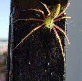 Picture of Peucetia spp. - Dorsal