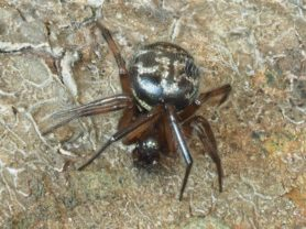 Picture of Enoplognatha spp. - Dorsal,Eyes