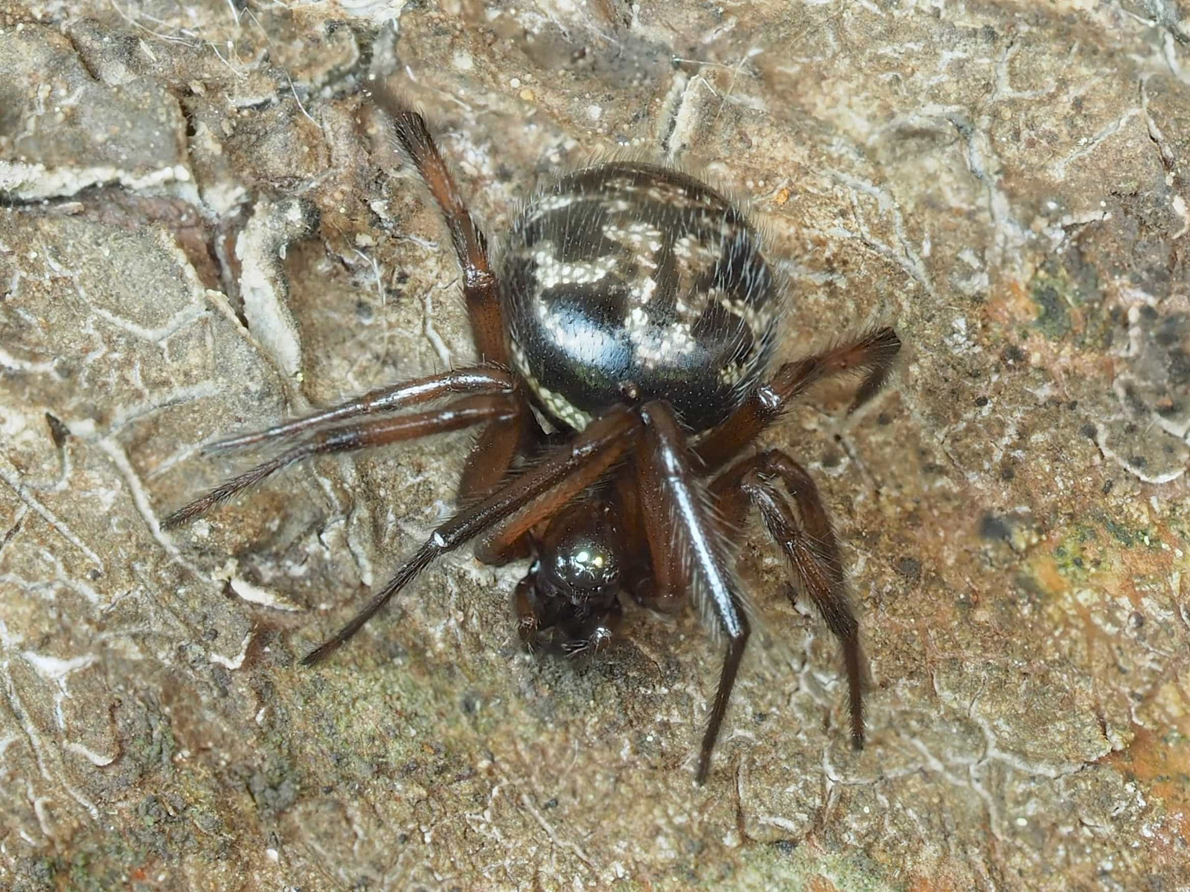 Picture of Enoplognatha - Dorsal,Eyes