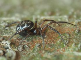 Picture of Enoplognatha spp. - Lateral