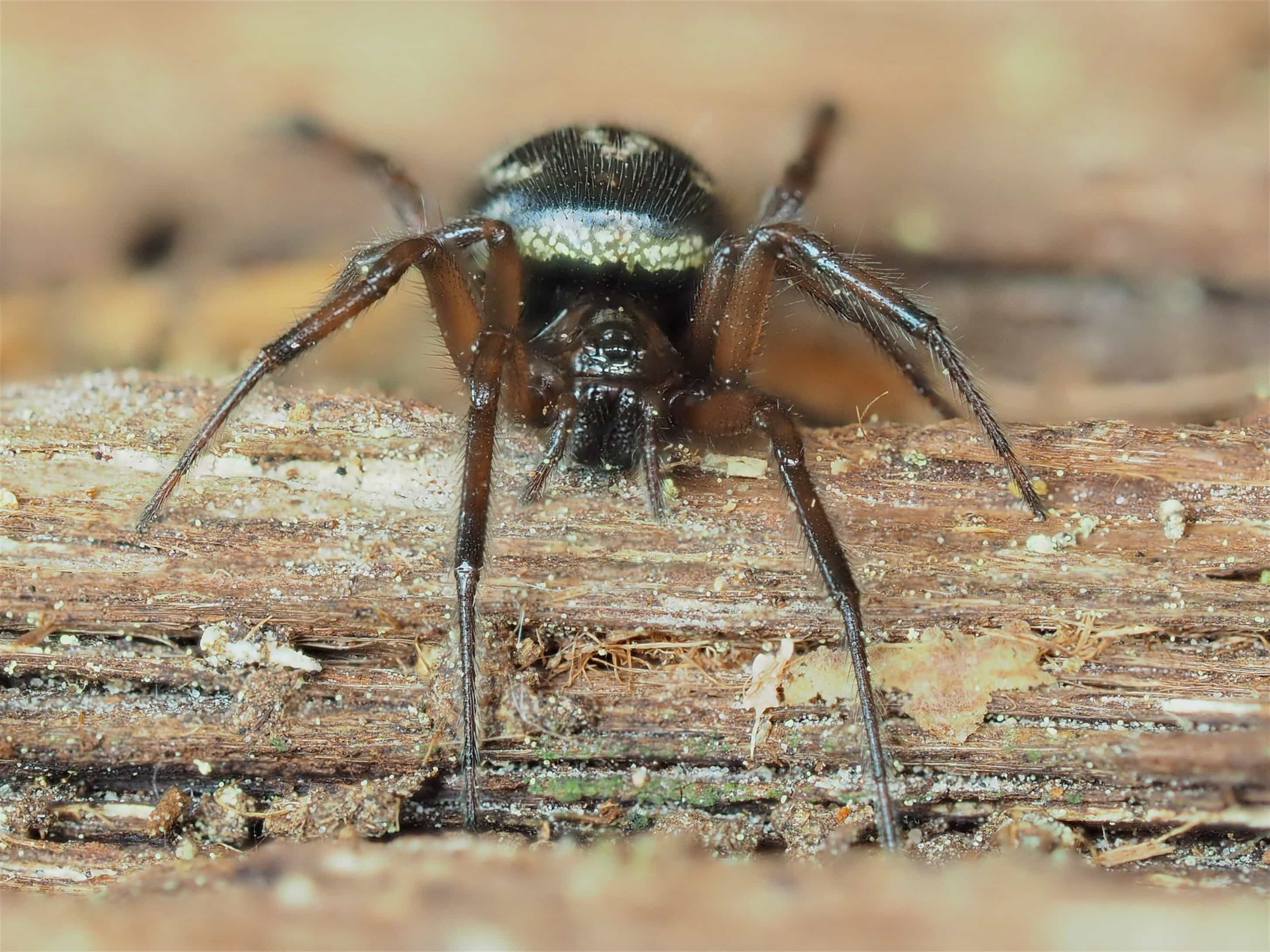 Picture of Enoplognatha - Eyes