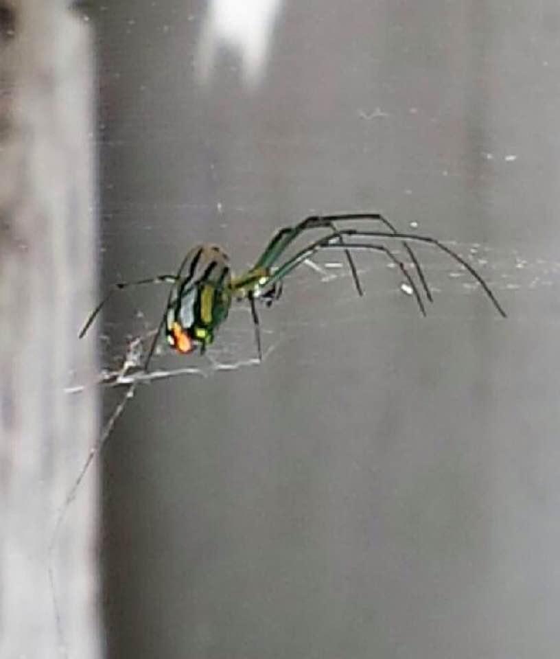 Picture of Leucauge argyrobapta (Mabel Orchard Orb-weaver) - Lateral,Webs