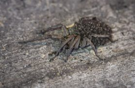 Picture of Tigrosa spp. - Female - Lateral,Spiderlings