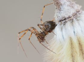 Picture of Lepthyphantes leprosus - Female - Lateral