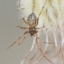 Featured spider picture of Lepthyphantes leprosus