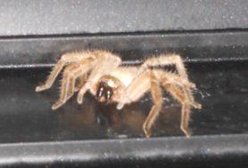 Picture of Olios giganteus (Giant Crab Spider)