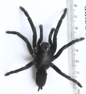 Picture of Chilobrachys spp. - Dorsal
