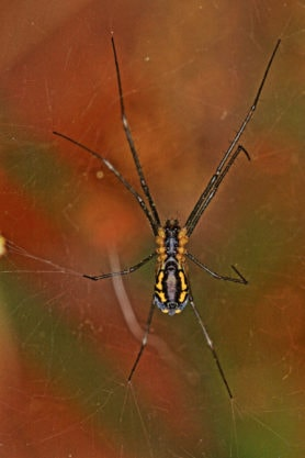 Picture of Neriene radiata (Filmy Dome Spider) - Female - Ventral