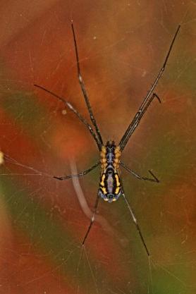 Picture of Neriene radiata (Filmy Dome Spider) - Female - Ventral