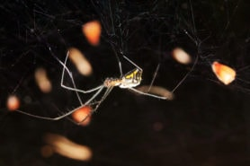 Picture of Neriene radiata (Filmy Dome Spider) - Female - Lateral,Webs