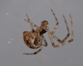 Picture of Parasteatoda tepidariorum (Common House Spider) - Male - Lateral,Webs