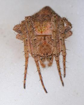 Picture of Eustala spp. - Dorsal,Eyes