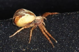 Picture of Philodromus floridensis - Lateral