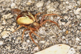 Picture of Philodromus floridensis - Dorsal