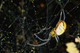Picture of Nephila clavipes (Golden Silk Orb-weaver) - Male - Lateral,Webs